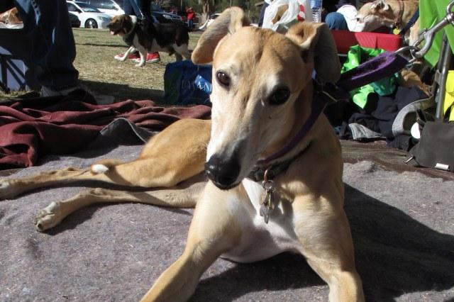 SA Greys Greyhound (1)